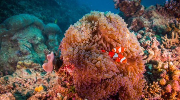Clown Fish 'Nemo'