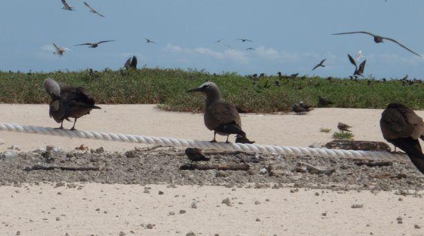 Sea birds with Michaelmas Cay